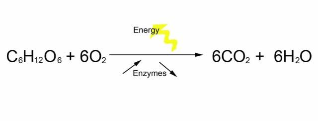 Cellular Respiration Photosynthesis Equations