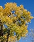 131101-trees-ASC_6993RLSs