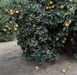 131113-Oranges-ASC_7145RLSs