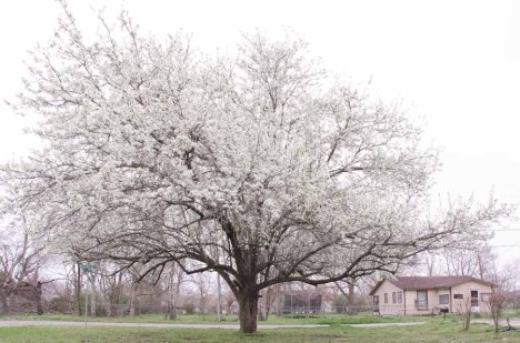 140220-floweringtree-ASC_8070RLSs