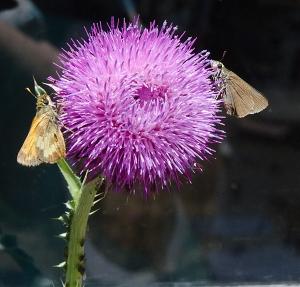 140712-moths-asc_0018RLSs copy