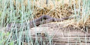 140715-snake-ASC_0206RLSss