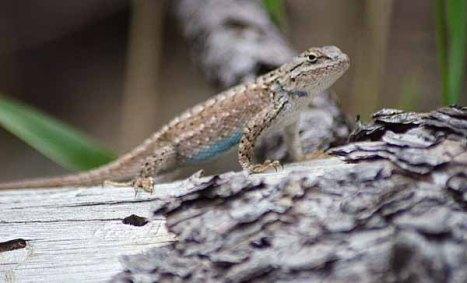 140816-Lizard-ASC_0879Sss copy