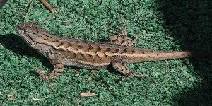140912-lizard-asc_1302RSs