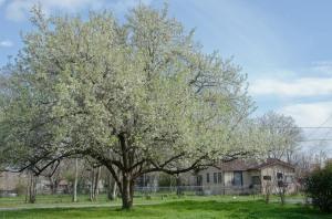 150315-tree-ASC_5595RLSs copy